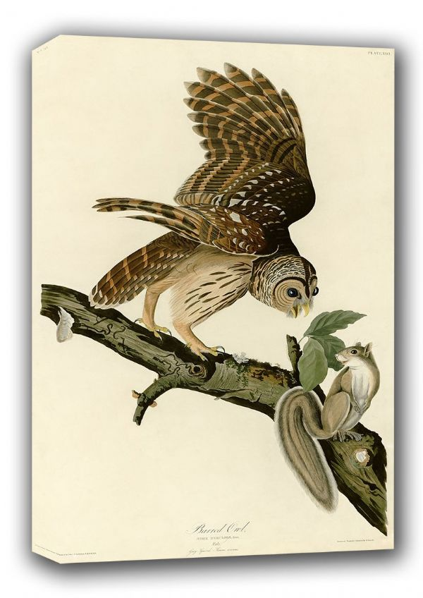 Audubon, John James: Barred Owl and Grey Squirrel. (Ornothology/Bird) Fine Art Canvas. Sizes: A3/A2/A1 (001010)